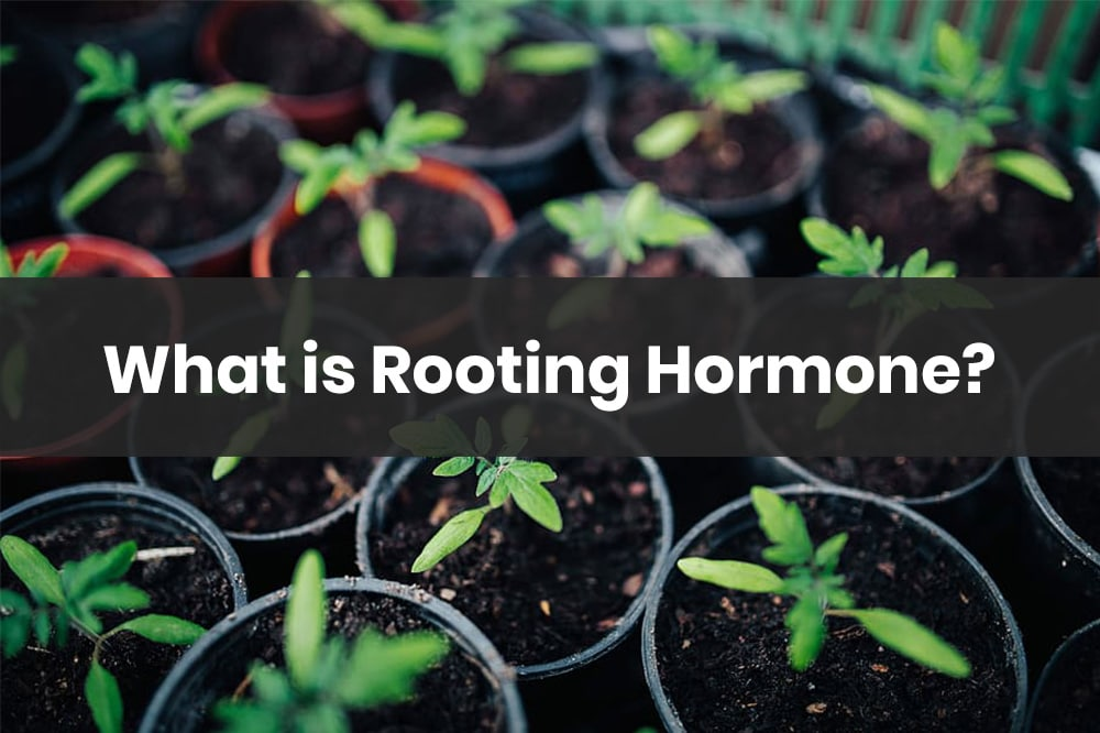 what is a rooting hormone
