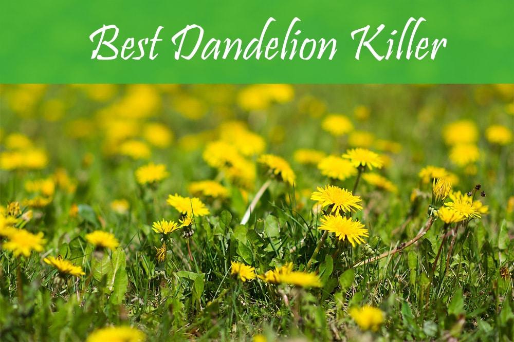 Best Dandelion Killer