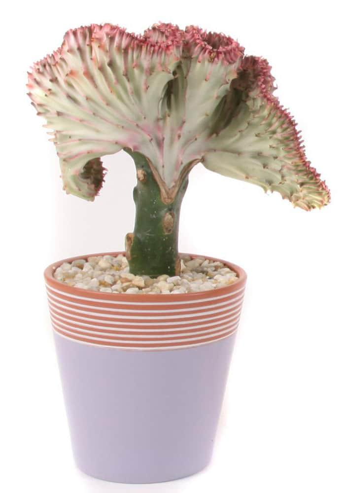 coral cactus plant